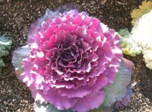 Flowering Cabbage (KENPEI)